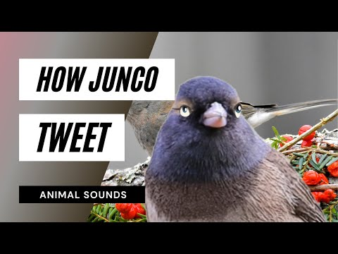 The Animal Sounds:  Junco Tweet - Sound Effect - Animation