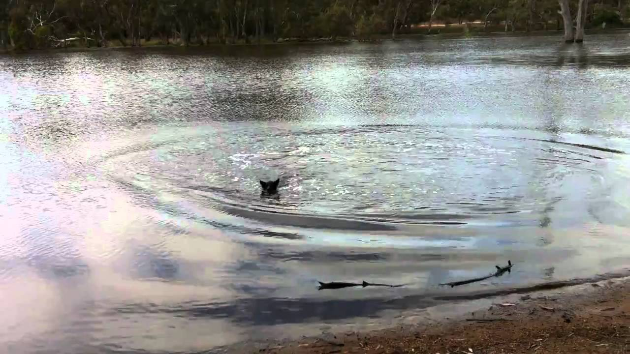 Toby the border collie leaping into Norval Dam, Ararat Victoria
