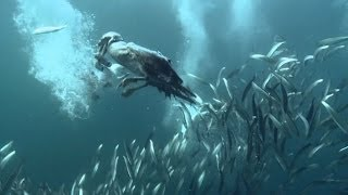 Preview - Little Forage Fish are a Big Deal | Pew & This American Land