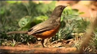 Canto do Sabiá Laranjeira (Piauí)