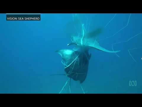 The unintended consequences of shark nets installed off the North NSW coast