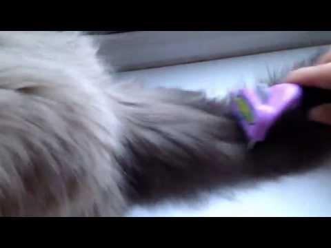 Using the Furminator on Ragdoll kitten