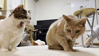 「あっやりやがった!」と思う猫