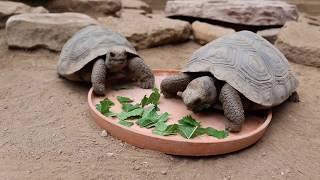 Meet Two Galapagos Tortoise Hatchlings at Taronga Western Plains Zoo