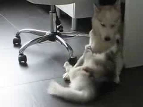 Female Siberian Husky  playing with a Maine Coon cat