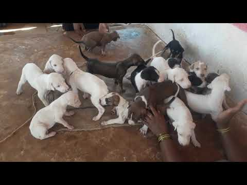 Indian bread Mudhol Hound puppies male and female available.9741041267