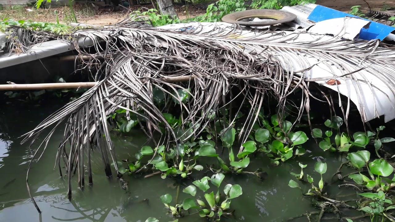 เลี้ยงปลาหมอในบ่อซีเมน
