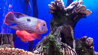 Blood Parrot Cichlid Laying Eggs
