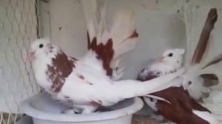 American fantail pigeons 03459442750 Zain Ali Farming in Pakistan