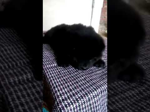 Black Chow Chow female male dog puppies for sale in Delhi Dwarka pet shop at very reasonable price