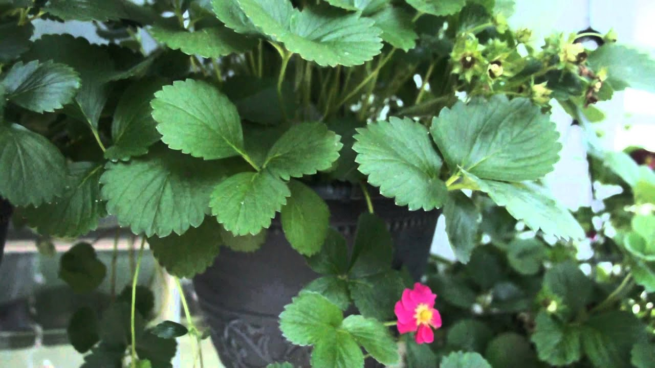 Nice Looking Hanging Strawberry Plants From Home Depot