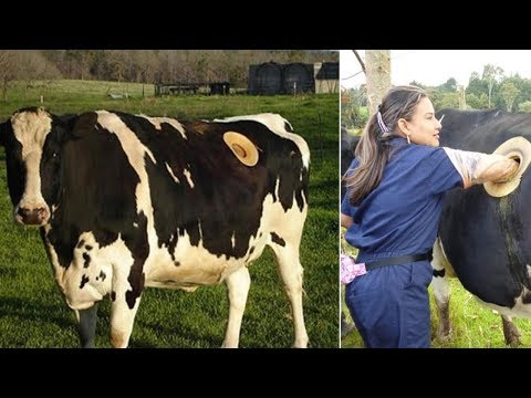 Farmers In Switzerland Drilling Holes In The Stomachs Of Cows For Strange Reasons