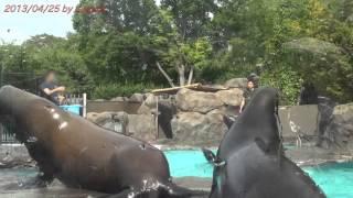 アザラシが飼育員さんから投げられたエサを必死に受けて食べています。 Seals is eating. Ueno zoo Tokyo Japan 379
