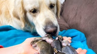 Golden Retriever and Baby Bunnies 4 days old [First steps]