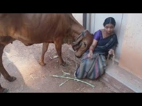 Download Funny cow    cow attack on people funny video    Latest funnt videos
