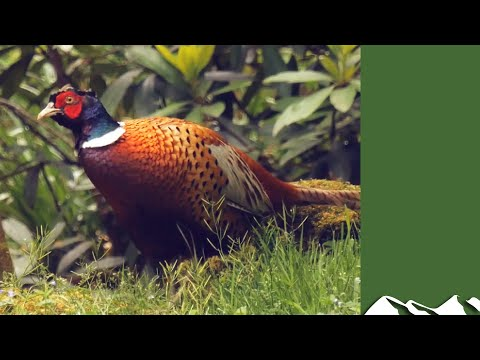 Great Irish Pheasant Shooting In Co Offaly