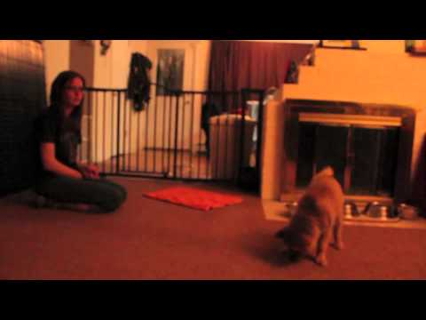 Clicker Training Finnish Spitz Puppies
