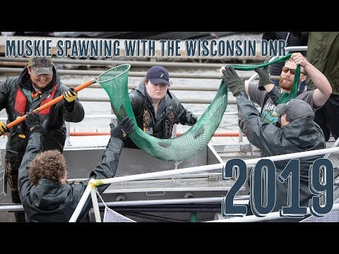 Muskie Spawning With The Wisconsin Department Of Natural Resources