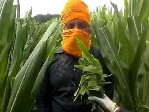 Punjabi working in Italy