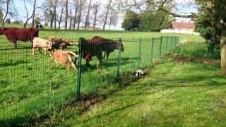 Le chien anti-vache !