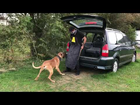 Tiny the incredibly talented Great Dane 14 Months old Personal Protection Training