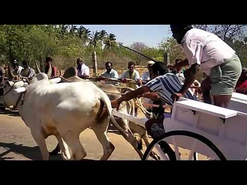 Kangeyam Kalai Rackla race in Muthur 2017