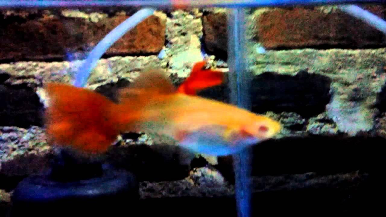 Fish aquarium in bangladesh - Guppy Albino Full Red Super Red Bd