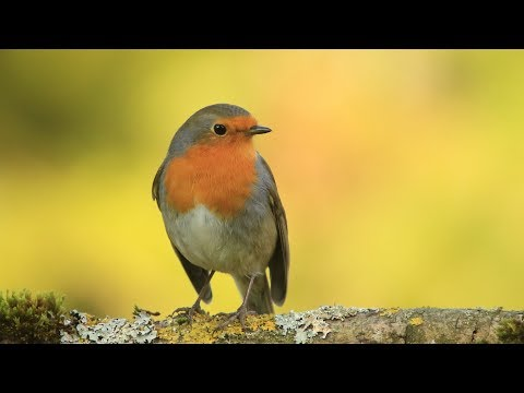 chants , cris du rouge gorge HD/songs , calls european robin HD