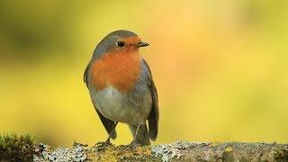 chants , cris du rouge gorge HD/songs , calls european robin HD thumbnail