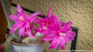 My Aporocactus flagelliformis - Rat's tail Cactus' in bright pink bloom