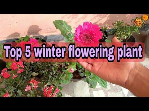 Top 5 winter flowering plant, Garbera plant, petunia plant, guldavadi plant, Marigold