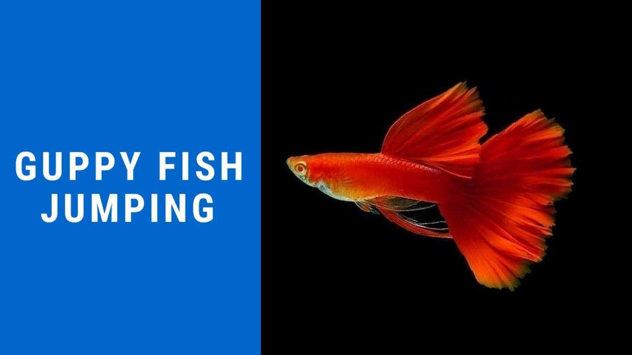 Guppy Fish High Jump