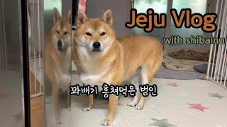 시바견과 제주일상 VLOG :-) 월대천/청춘당꽈배기/…