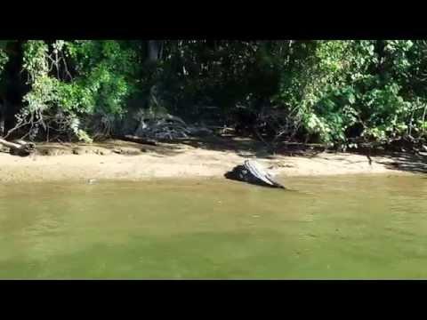 Australia Cape Tribulation Crocodile