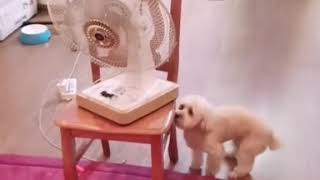 Dog turns on the fan alone so as not to heat!!