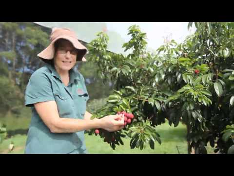 Salathiel Lychee Tree - Small Seed & BIG Lychees ( Grafted Fruit Tree )