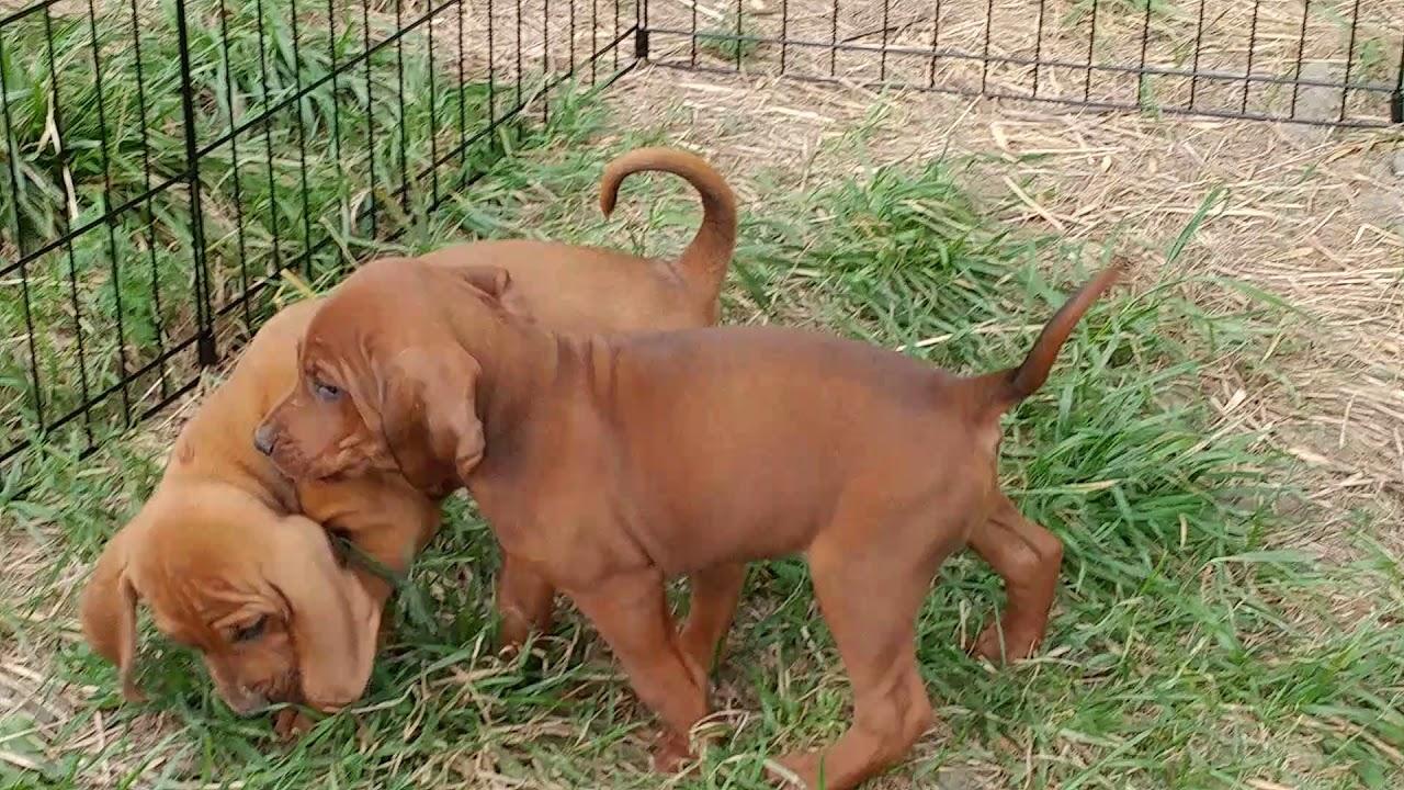 6 Week Old Female Redbone Hound