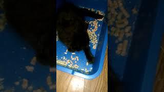 Как научить котенка Мейн-куна  ходить в лоток