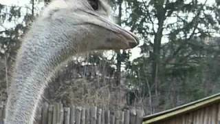 Random Funny Ostrich Movie