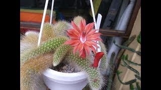 My Cleistocactus colademononis 'Monkey's Tail' Cactus in beautiful flower