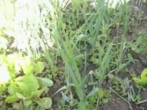 Cultivo de verduras en casa youtube for Cultivo de verduras en casa