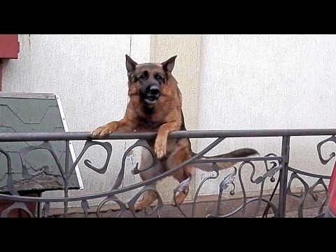 Resultado de imagen para German Shepherd собака в машине