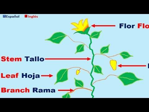 Partes De La Planta En Ingles Y Español Youtube