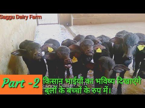 A Great Bloodline HLDB Murrah Bull No M 312634 From HLDB Hisar Haryana