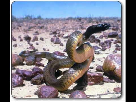 top 10 most dangerous animals australia youtube