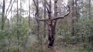 трезубец дьявола Брянский лес