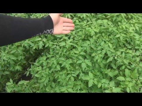 Результаты посева семян томатов на #рассаду в теплице.