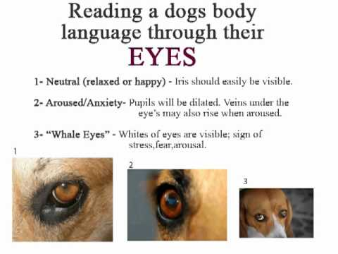 Dog Ear Body Language