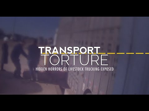 WATCH: Hidden-Camera Video Reveals the Horrors of Live Animal Transport