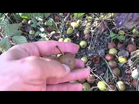 Как сушить грушу дичку